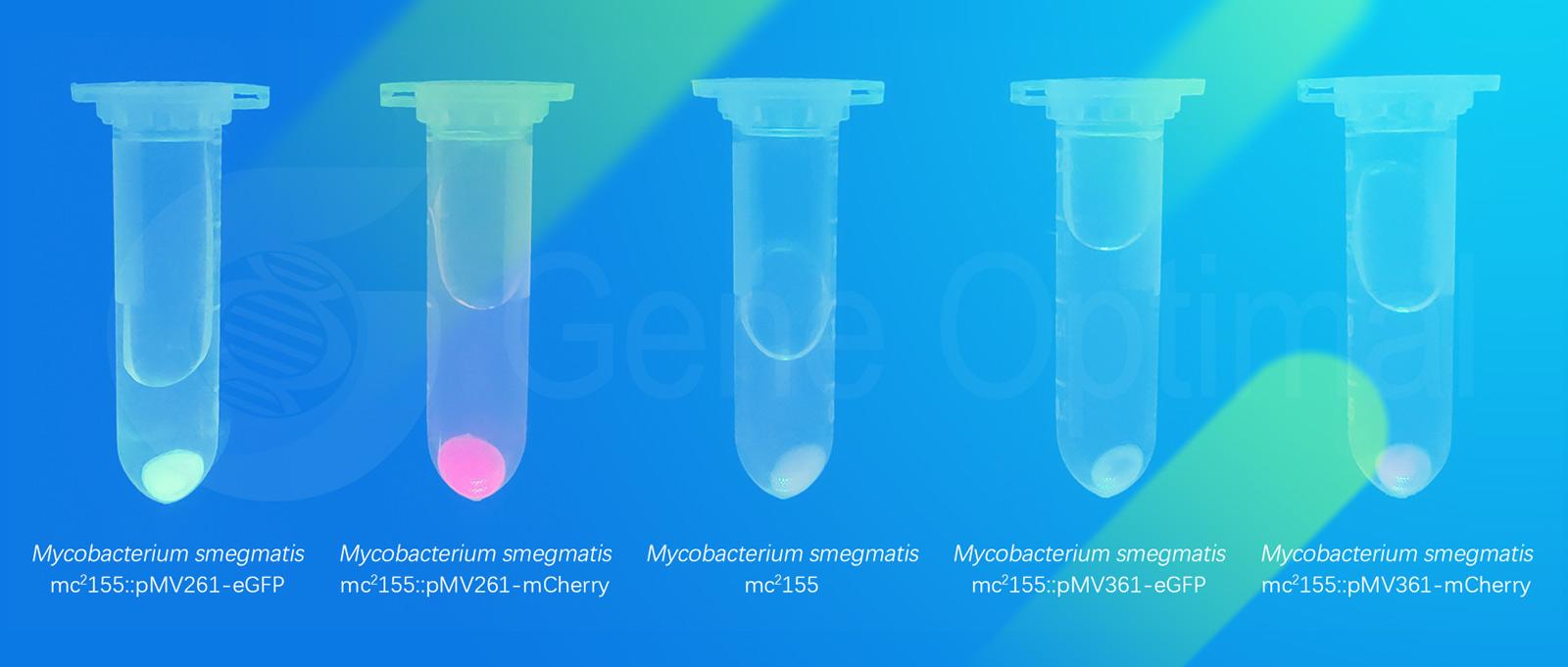 荧光标记分枝杆菌